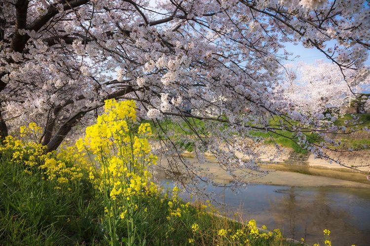 曽我川の春 Japan Photography Japan Cherry Tree Cherry Blossom Nara Sogariver Tree Flower Water Springtime Yellow Sky Landscape
