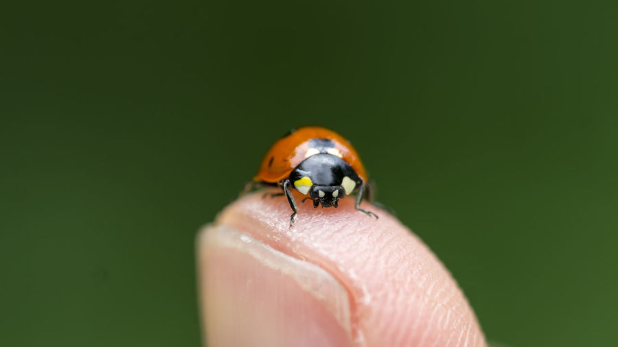 The human element Close-up Finger Fingers Insect Ladybug Macro Macro Beauty Macro Insects Macro Nature Macro Photography Macro_collection Nature Selective Focus