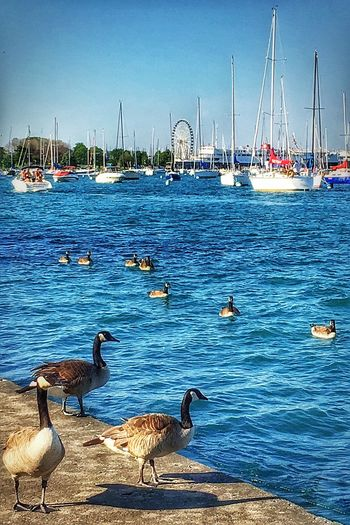 Chicago Chicago Lake Front Lakemichigan Navy Pier Navy Pier Ferris Wheel Geese Family Swimming Cute♡ All Lined Up In A Row Sailboats Nature City EyeEm Gallery Pictureoftheday Picture Snappseed IPhone Hdr_Collection Amateurphotographer  Eyeemchicago Eyeemurbanshot Photo EyeEm Best Shots - Nature EyeEmBestPics