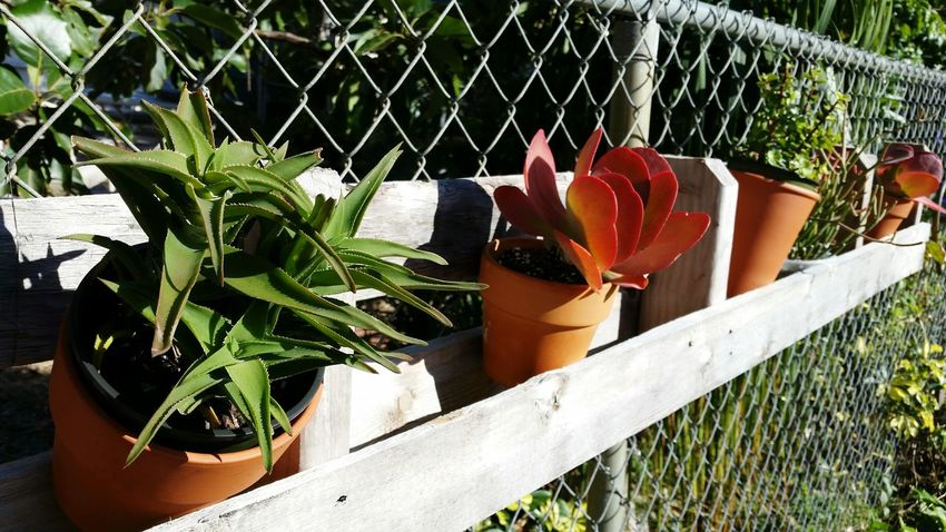 Succulent Plants Potted Plants Succulent Plant Potted Garden Succulents Gardens Chainlink Fence In A Row Echeveria