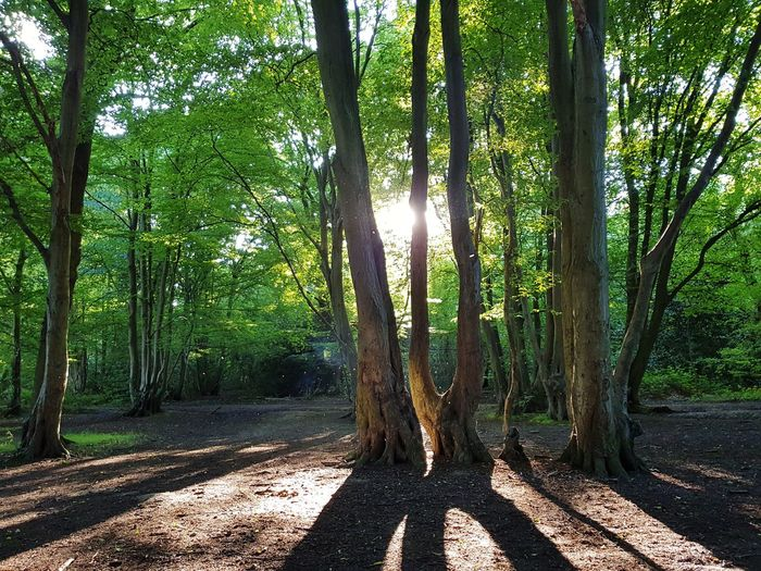 picturesque view of ruislip woods EyeEmNewHere Tree Tree Area Forest Tree Trunk Branch Shadow Sunlight WoodLand Leaf Landscape