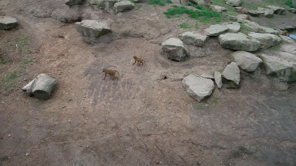 Sand Beach High Angle View Day Outdoors Nature No People Paw Print Rocks Baby Baboons Mammal