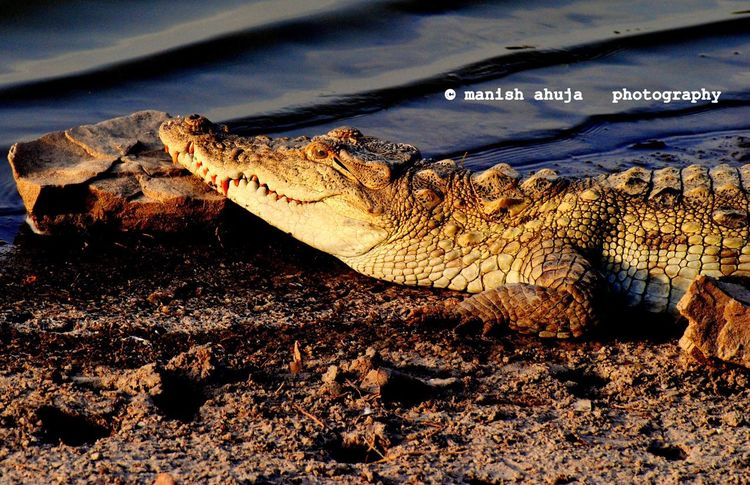 Animals In The Wild Crocodile Nature Animal Wildlife Reptile Beauty In Nature Close-up Wild India Ranthambore National Park Lake No People Nature Water