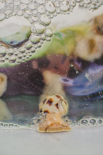 东风螺 หอยหวาน Babylonia Seafood. Babylonia Areolata Seafood Snail Animal Animal Themes Animal Wildlife Animals In The Wild Babylonia Close-up Glass - Material Indoors  Marine Nature No People One Animal Sea Sea Life Seafish Swimming Transparent UnderSea Underwater Vertebrate Water The Still Life Photographer - 2018 EyeEm Awards