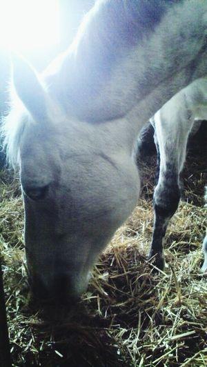 Horse Myhobby White Lovely Girl