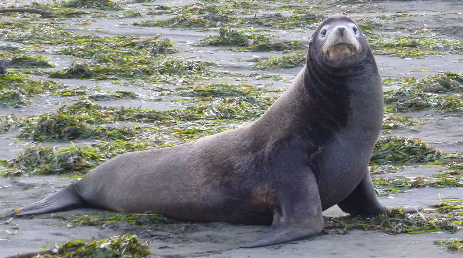 Beach babe seal poses for the camera amidst dense colorful swathes of seaweed. Animal Animals In The Wild Aquatic Mammal Beach Beach Babe Beach Life Coast Coastal Flippers Fur Gray Green Grey Mammal Nature Ocean Sand Seal Seal - Animal Sealife Seaweed Soulful Eyes Wild Wildlife Wiskers