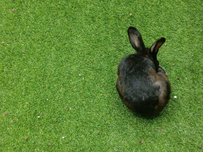 Black Rabbit in Fake green grass Rabbit ❤️ Rabbits Rabbits 🐇 Black Rabbit Black Brown Brown Rabbit High Angle View Grass Green Color Rabbit - Animal Animal Ear Easter Bunny Rabbit Green