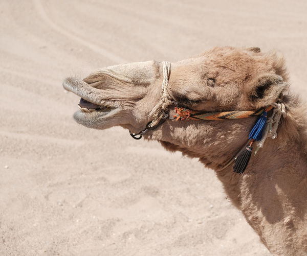 Animal Themes Animals In The Wild Beach Camel Close-up Day Domestic Animals Funny Faces Joy Laughing Camel Mammal Nature No People One Animal Outdoors Sand Satisfaction Soma Bay Hurghada