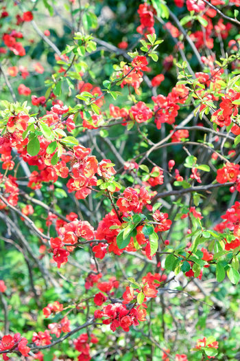 Red Japanese Quince - Chaenomeles speciosa Japan Japanese Garden Japanese Quince Tokyo Beauty In Nature Close-up Day Flower Freshness Green Color Growth Japanese Quince Branch Japanese Quince Buds Nature No People Outdoors Plant Red Tree