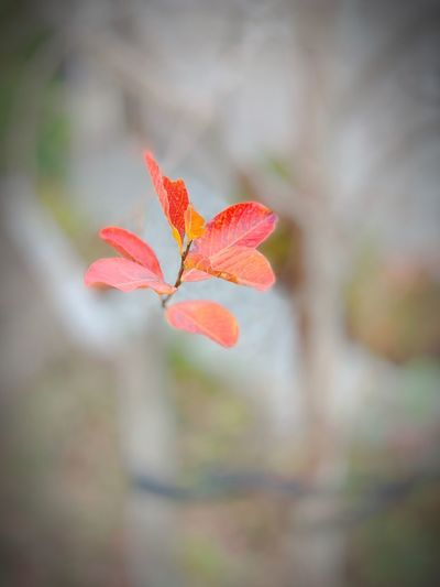 """Red Leaf Rising"" Closeup of the last of an autumn leaf clinging to a tree in a suburban neighborhood in Northern California. Nature Autumn Leaves Red Leaves Beauty In Nature Vulnerability  Fragility Growth Close-up Focus On Foreground Red"