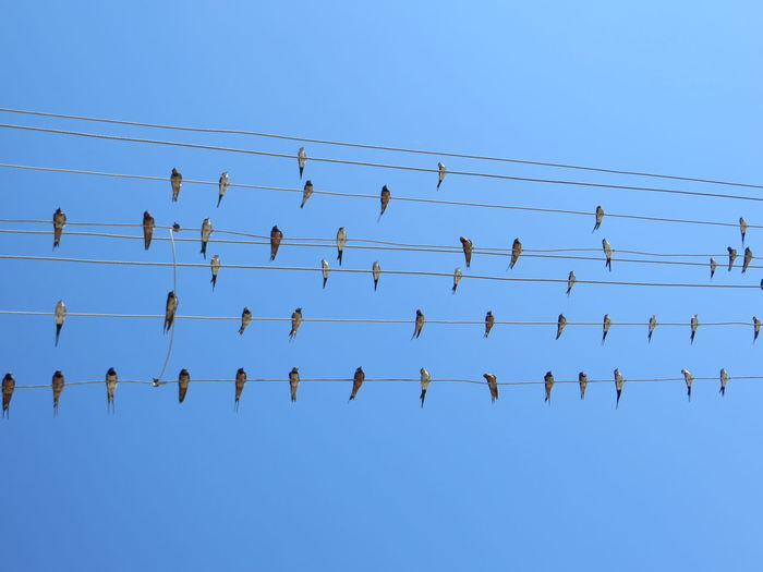 Low Angle View Of Birds Perching On Cables Against Clear Blue Sky