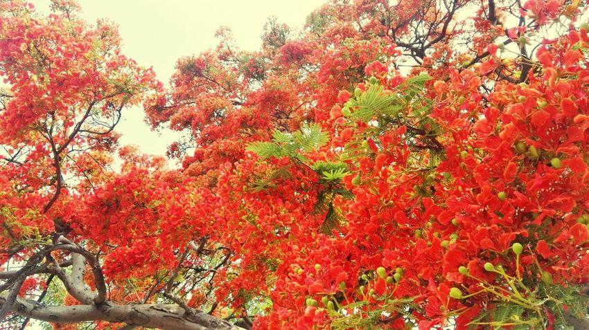 凤凰树系列5 Tree Branch Red Leaf Sky Close-up