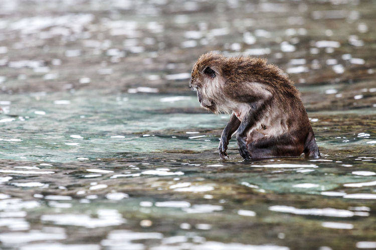 Monkey in a lake