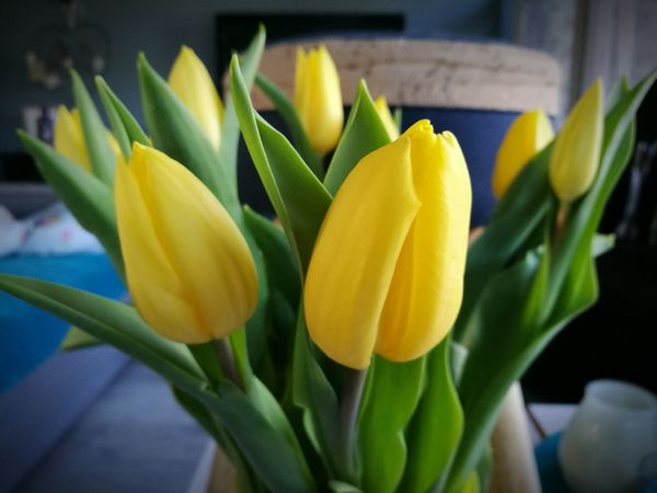 Flower Beauty In Nature Fragility Nature Freshness Yellow Petal Plant Flower Head Growth Close-up Blooming Green Color No People Day Indoor Photography HuaweiP9Photography Made By Noesie Yellow Tulips The Week On EyeEm EyeEmNewHere