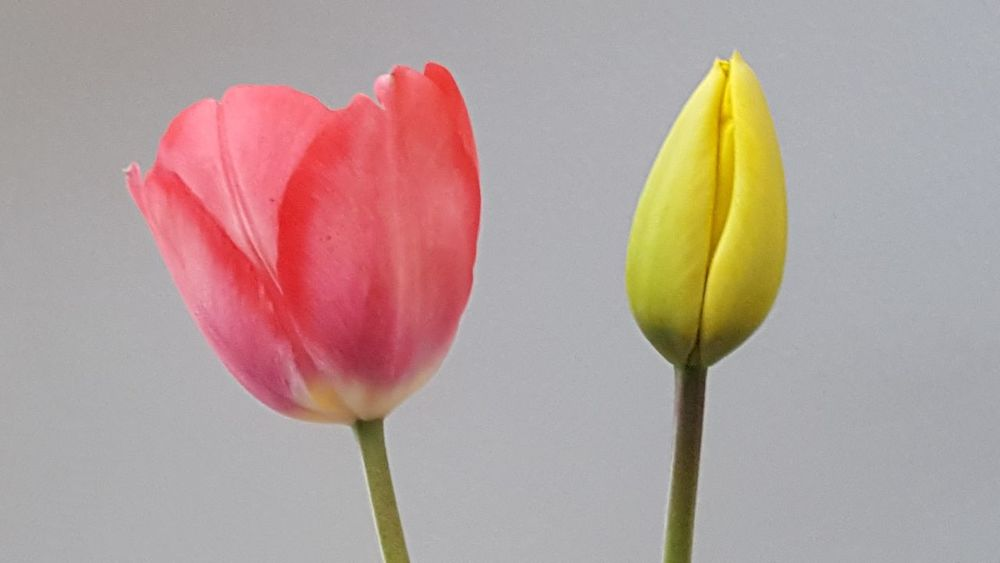 Petal Yellow Flower Red Flower Green Premium Collection Tulips🌷 Tulipseason Flowers Flower Collection Flower Photography Flower Head Flower Power Flower Fantasy Natural Beauty Nature Minamalist Kingston Upon Hull Two Is Better Than One Fine Art Photography White Background Blooming Stem No People Growth Freshness Beauty In Nature Close-up