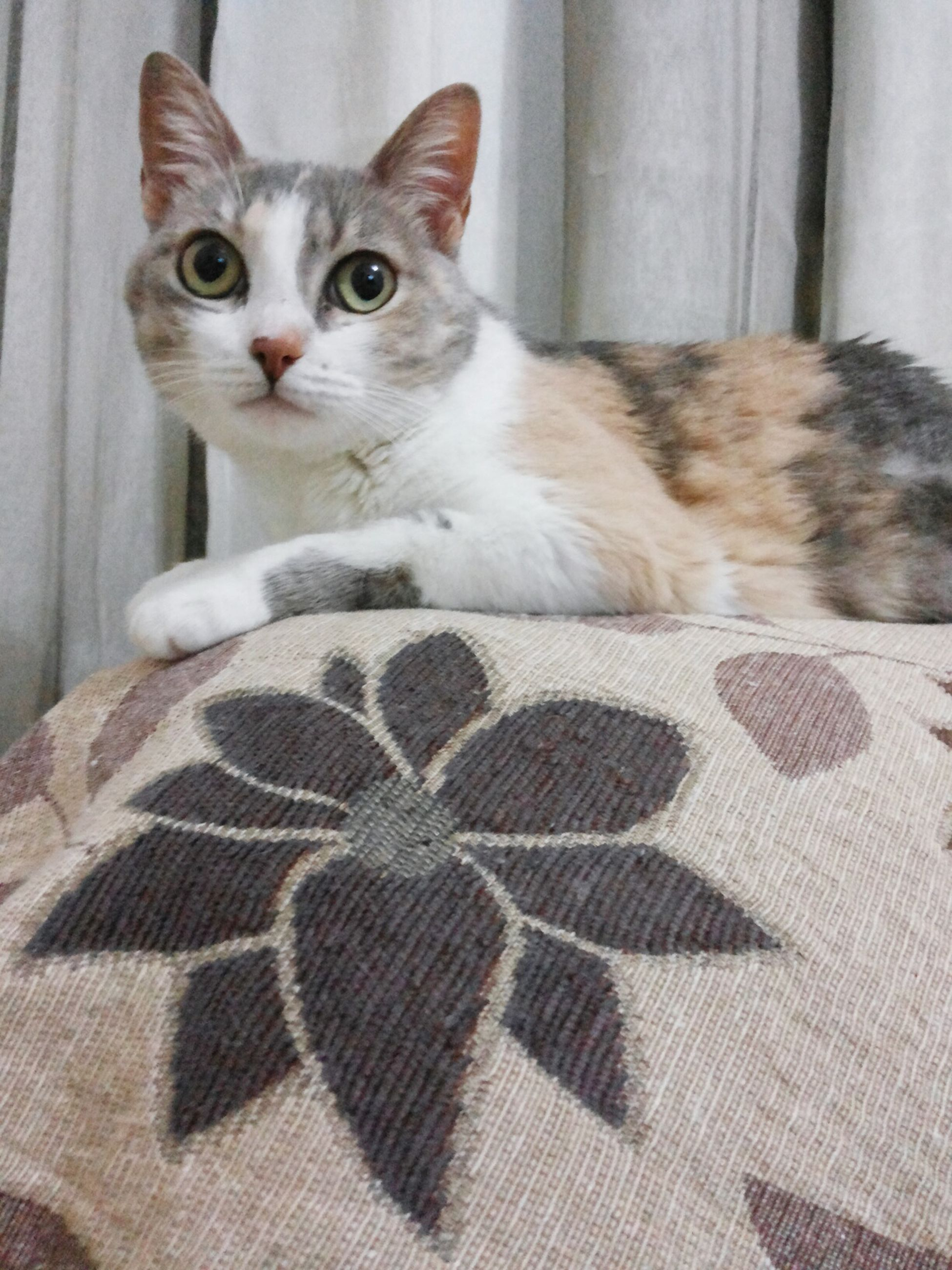 domestic animals, animal themes, pets, one animal, domestic cat, mammal, indoors, cat, feline, looking at camera, portrait, staring, close-up, front view, vertebrate, whisker, animal head, zoology, gray, at home, relaxation, selective focus, carnivora, animal, animal eye, kitten, animal hair