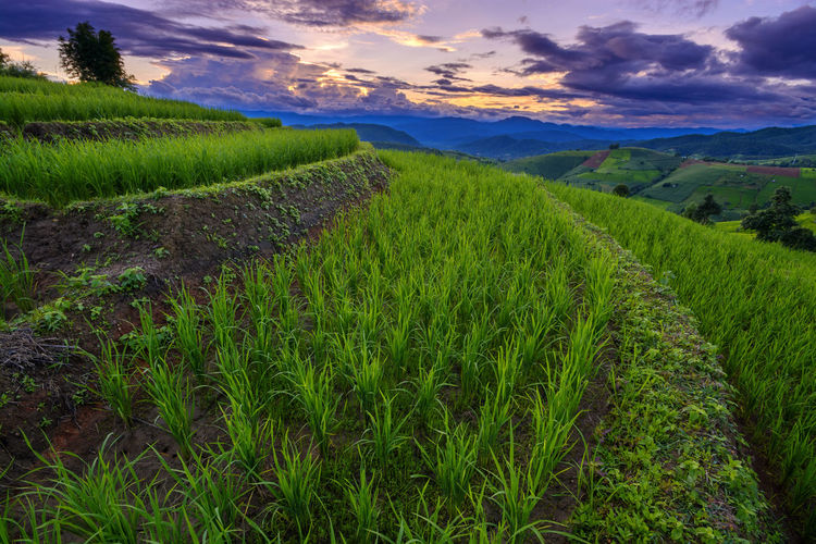 Chiang Mai | Thailand Chiangmai Agriculture Beauty In Nature Cloud - Sky Crop  Environment Farm Field Grass Green Color Growth Land Landscape Nature No People Outdoors Plant Plantation Rural Scene Scenics - Nature Sky Tranquil Scene Tranquility