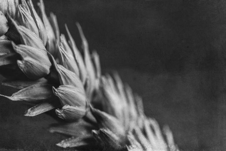 Still Life Photography Textures Wheat Black And White Closeup Courbes Ears Of Wheat Geométrique Nature Geometry Nature Morte No People Noir Et Blanc Photographie épis De Blé