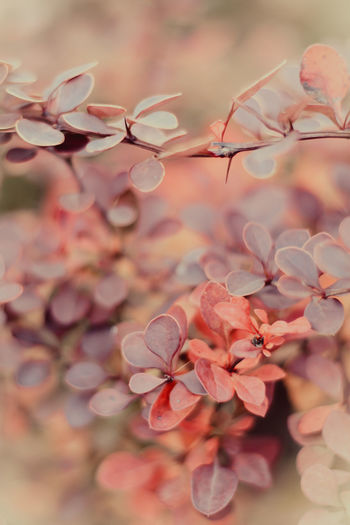 Barberry with