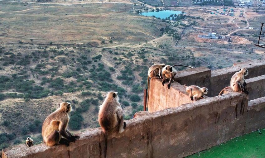 Nature theories, pushkar, india-monkeys sitting on a mountain