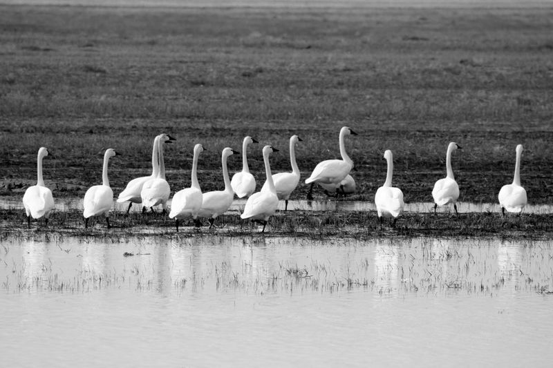 Animal Themes Animal Wildlife Animals In The Wild Beauty In Nature Bird Blackandwhite Photography Colony Day Flock Of Birds Gander Of Geese Nature No People Outdoors Reflection Water The Great Outdoors - 2018 EyeEm Awards