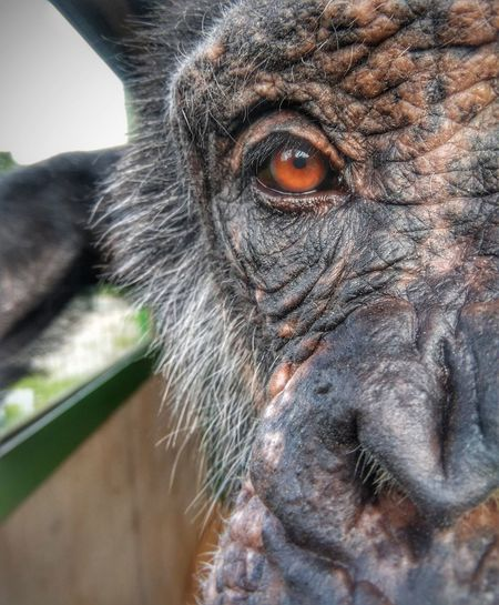 here's looking at you Chimpanzee Monkey Eye Close Up Portrait Looking At Camera Close-up HEAD Be Brave