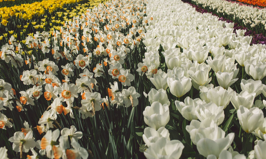 Abundance Beauty In Nature Close-up Day Field Flower Flower Head Flowerbed Flowering Plant Fragility Freshness Growth Inflorescence Nature No People Outdoors Petal Plant Springtime Tulip Vulnerability  White Color