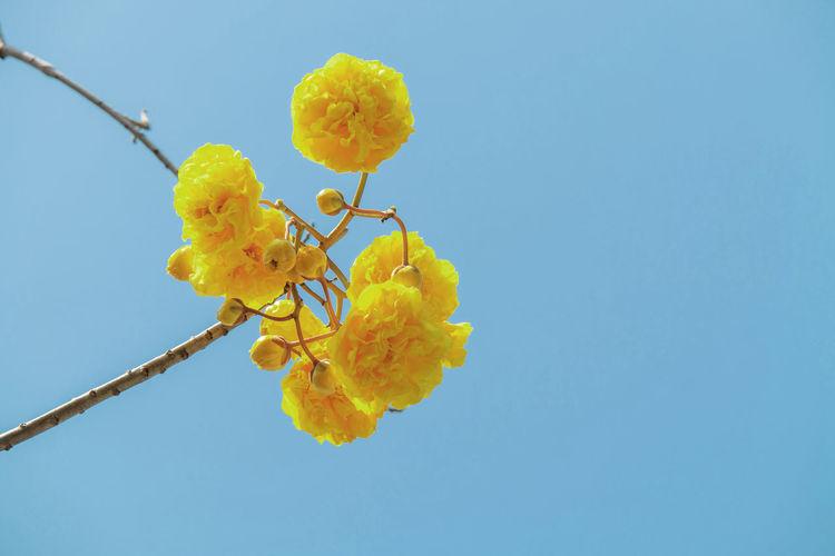 Cochlospermum