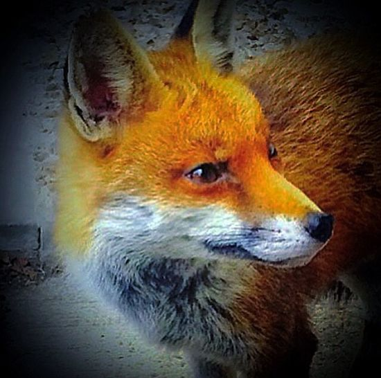 Pixie Redfox Foxie Fox One Animal Close-up Mammal Animals In The Wild No People Night Animal Themes Portrait Outdoors Nature