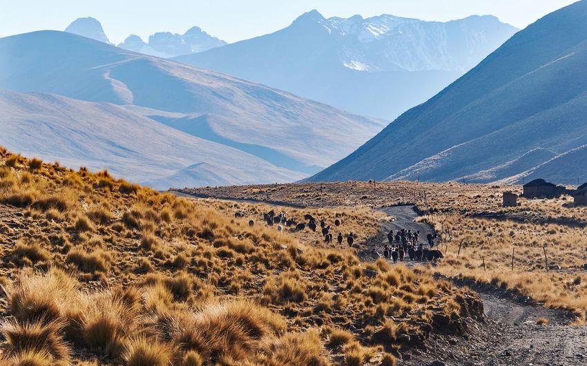 Bolivia Alpaca