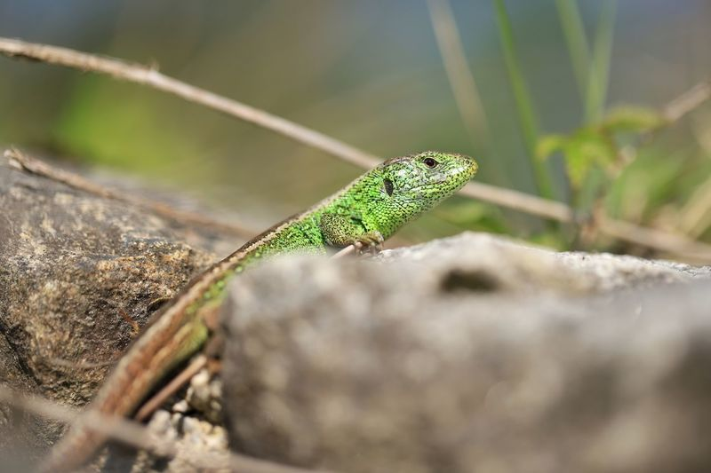 """Lizard"" Https://www.facebook.com/mh.photography.de/ Michael Hruschka Reptilien Reptile Eidechse Zauneidechse Echse One Animal Animal Themes Animals In The Wild Animal Wildlife Animal Selective Focus Green Color Reptile Close-up Lizard Nature Rock - Object"