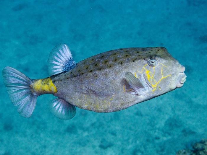 Yellow Boxfish Blue Boxfish Fish Lagoon New Caledonia One Animal Scuba Diving Underwater