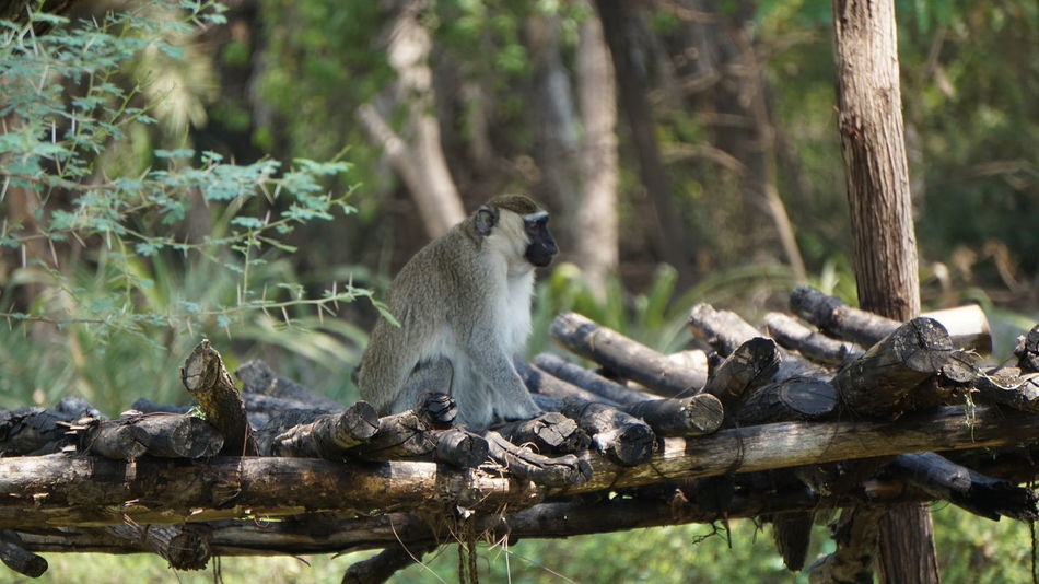 Green Monkey, native of Africa Animals In The Wild Monkey Animal Wildlife Animal Themes Nature Forest Mammal Care Primate Tree Sitting Ape Outdoors No People Branch Togetherness Day Tail Baboon Green Monkey Native Of Africa SonyAlpha6000 Nwin Photography Sonyalpha National Park