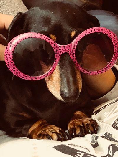 boujee Sausage Dog Dauschund One Animal Animal Themes Animal Glasses No People Fashion Sunglasses