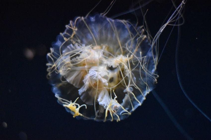 Aquarium Aquarium Life Black Background Darkness And Light Grace Graceful Jellyfish No Edit No Edit/no Filter No Filter Ocean Life Pier 39 San Francisco San Francisco Bay Sea Life Sea Life Aquarium Swimming Tranquil Scene Tranquility