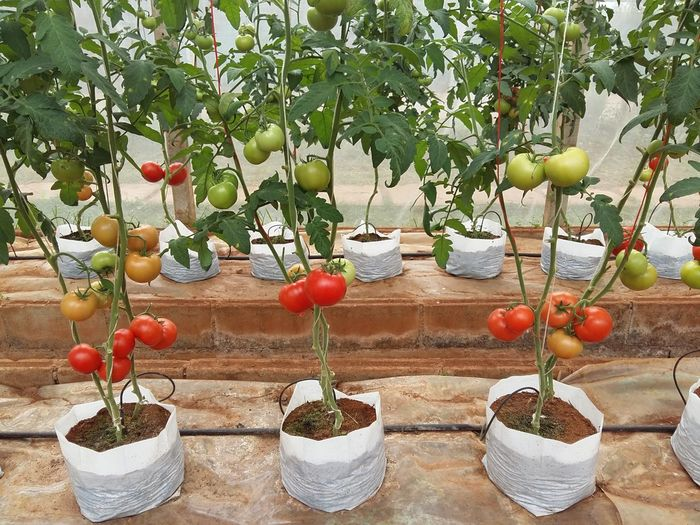 Green House Effect Green House Greenery Freshness Green House Green House Plant Green Houses Growth Nature Plant Tomato Tomato Plant Tomatoes