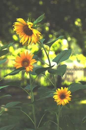 Sunflowers Flower Beauty In Nature Petal Freshness Nature Blooming Yellow Plant Outdoors Garden Depth Of Field Flora EyeEmNewHere