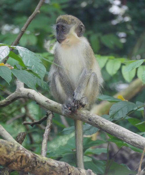 Monkey Animal Themes Animals In The Wild Tree Sitting Animal Wildlife Mammal No People Perching Nature Green Monkey