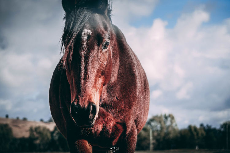 A wild horse stars into the camera Australia Horses Outback Wildlife & Nature Animal Animal Head  Animal Themes Animal Wildlife Close-up Day Field Focus On Foreground Horse Mammal Nature One Animal Outback Australia Outdoors