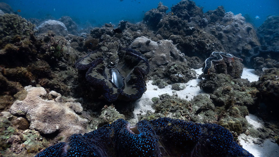 Giant clams at pagkilatan