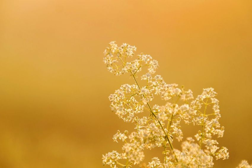 golden morning Nature Photography Beauty In Nature Reinheimer Teich My Point Of View My Place To Relax Foggy Morning Foggy Flower Head Flower Yellow Backgrounds Defocused Close-up Orange Background Plant Life Wildflower Uncultivated