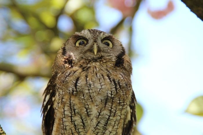 Looking Up Owl