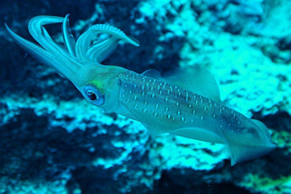 Aqua Aquarium Aquarium Life Aquarium Photography Beauty In Nature Nature Sea Sea Life Squid Squid ❤ Squids Swimming Under Water UnderSea Underwater Underwater Photography