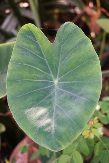 Colocasia Esculenta Herb Beauty In Nature Close-up Dasheen Day Environment Focus On Foreground Foliage Fragility Freshness Green Color Growth Leaf Leaves Nature No People Outdoors Plant Taro