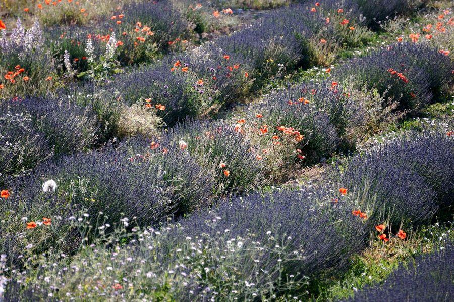 Les couleurs de la Provence 2 Abundance Beauty In Nature Blooming Colors Couleurs De La Provence Field Poppy Flower France In Bloom Lavender Provence