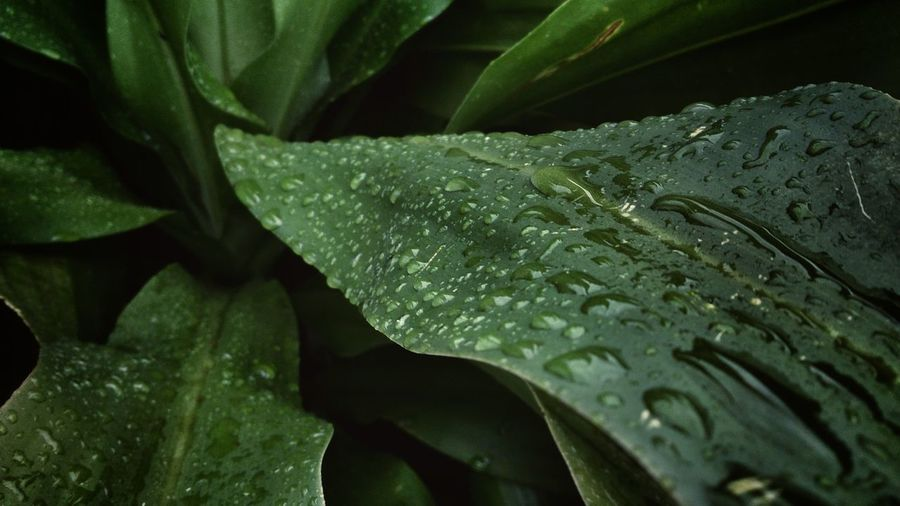 Green Color Plant Leaf Beauty In Nature Lush Foliage Botany Natural Pattern Water Drops Editoftheday Green Leaves Backgrounds Tranquility Rainy Days Nature Its Rainy Outside  Green Leaf Green Color Plant Close-up Backgrounds Growth Water Freshness Full Frame