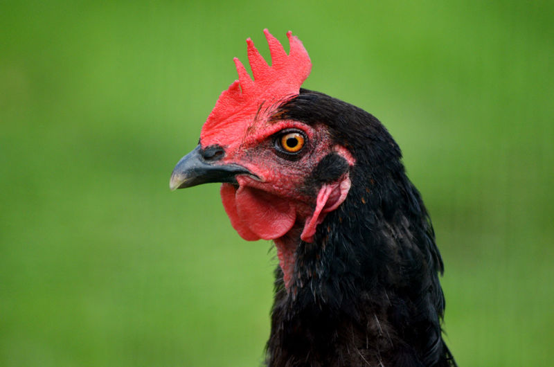 Profile image of our pet black chicken, mrs pepperpot. free range life.