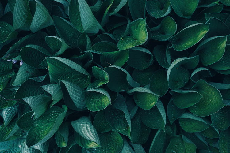 Hosta Abiqua, Drinking Gourd with beautiful green leaves Hosta Rain Raindrops RainDrop Drop Droplets Full Frame Abundance Leaf Backgrounds Full Frame Textured  Pattern Close-up Green Color Plant Natural Pattern Leaf Vein Leaves Change Dew