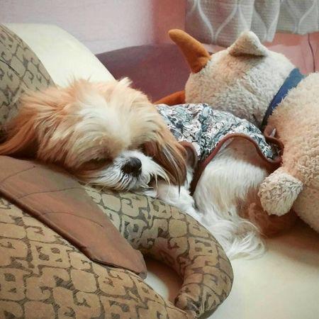 อัยแสบสิ้นฤทธิ์ Mydog Lovemelovemydog Shih Tzu Mylivingcompanion Take A Rest Low Battery Do Not Disturb