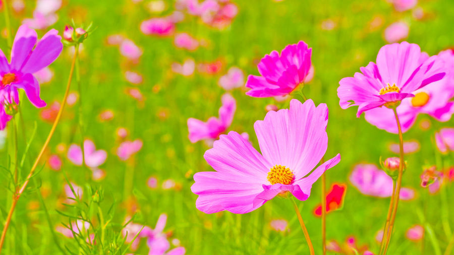 Close-up of pink flowering purple flowers on field